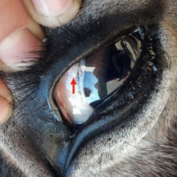 Besnoitia bennetti cysts in the eye of a 5-year-old donkey. The cysts appear as multiple, up to 1 mm in diameter, round, white and firm nodules (arrow). Photo: Elsheikha et al. https://doi.org/10.1186/s13071-020-04145-8