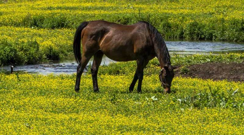 If other forage is available, grazing horses will usually avoid buttercup because the leaves, flowers and stems have a sharp, acrid taste.