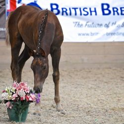 A foal at a British Breeding Futurity Evaluation. © Horsepower Creative