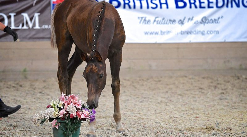 A foal at a British Breeding Futurity Evaluation.