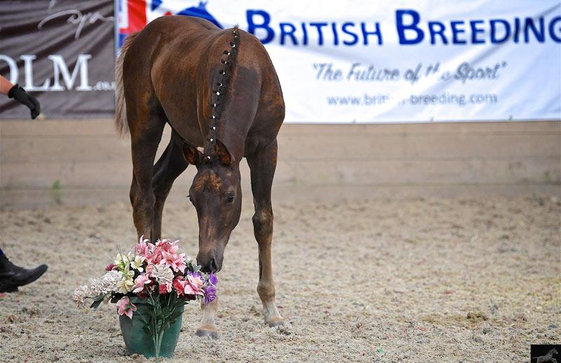 A foal at a British Breeding Futurity Evaluation.