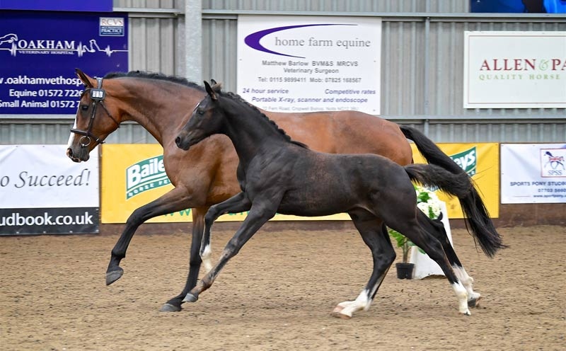 British Breeding's Futurity Elite Auction is being held online later this year.