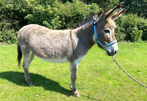Jelly at her new home at The Donkey Sanctuary.