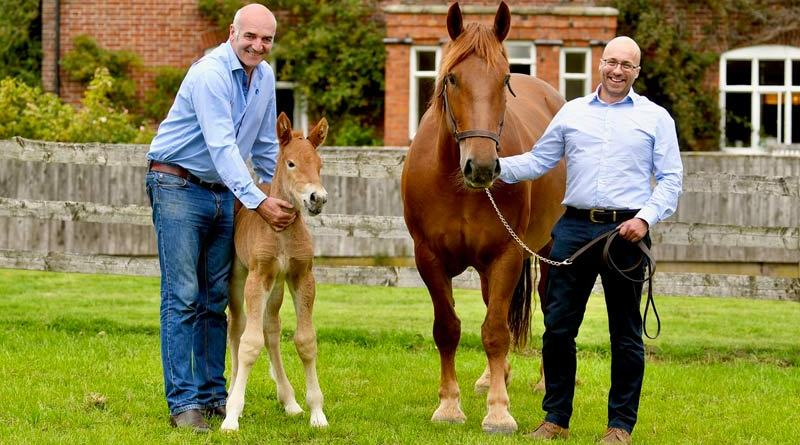 Tullis Matson and Dr Gareth Starbuck with Suffolk Punch mare ruby and her newborn filly foal.