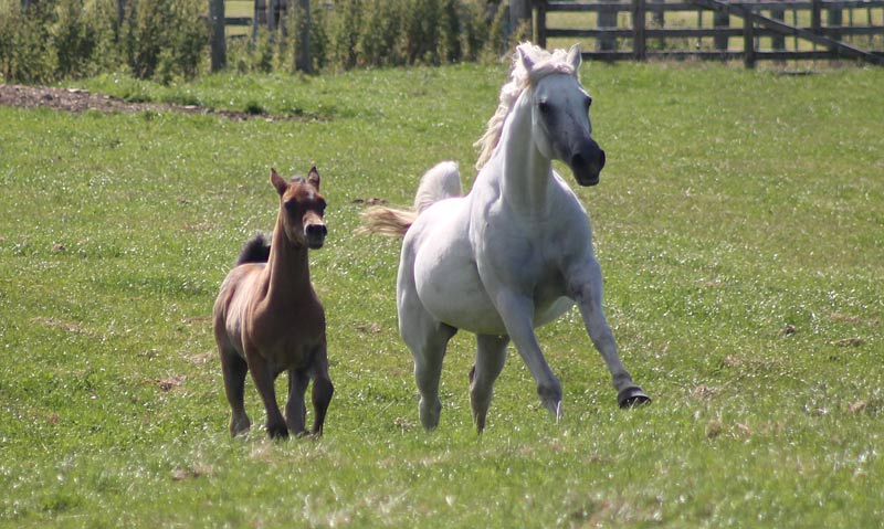 Researchers found evidence that donkeys can be infected by equine parvovirus-hepatitis (EqPV-H), but not zebras or humans.
