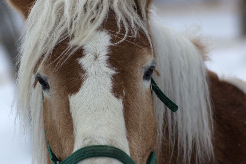 In Western Europe, the main equine dairying breed is the haflinger.