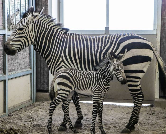 Hartmann's mountain zebra mare Wanda and her new foal, who was born at Dallas Zoo on July 23.