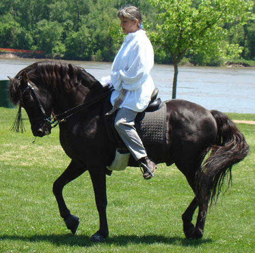 A Lippitt Morgan stallion.