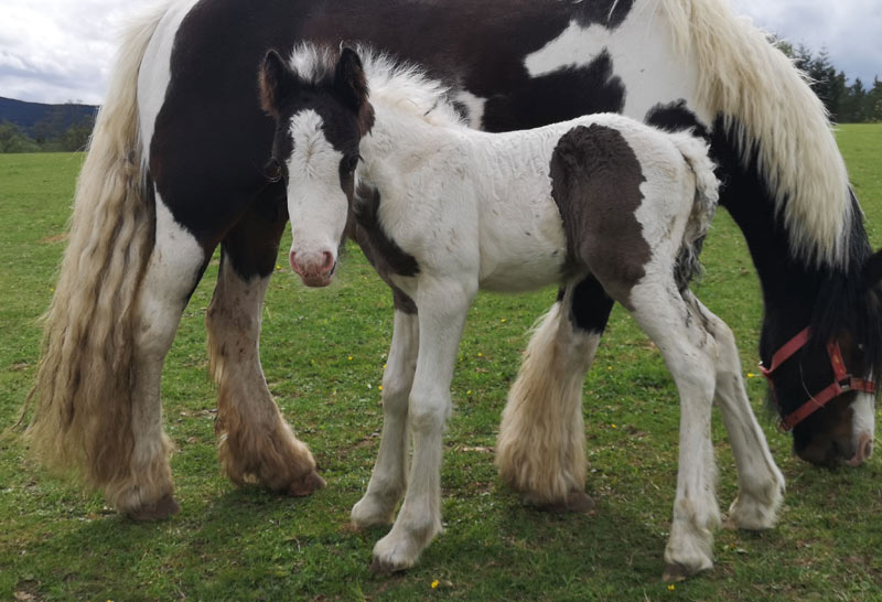 On of the Wellingborough foals born at Belwade Farm.