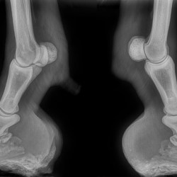 X-rays of Piglet's front feet in June 2019. At left is nearside, right is offside. © Blue Cross