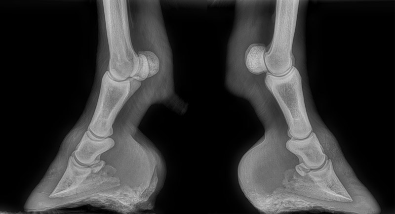 X-rays of Piglet's front feet in June 2019. At left is nearside, right is offside.