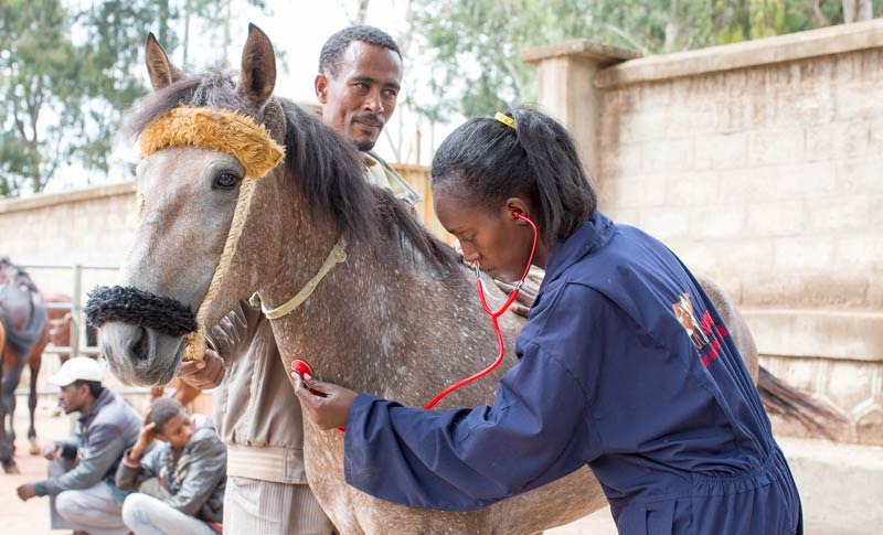 A horse receives veterinary treatment from the Spana team in Ethiopia.