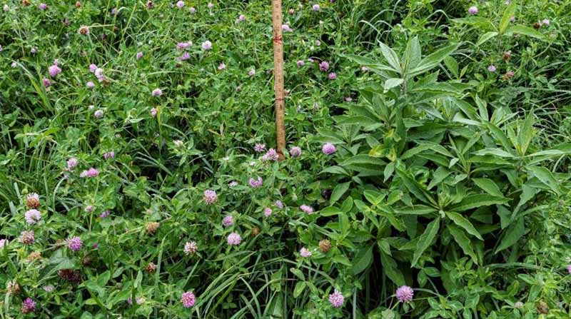 Ironweed pokes its head out of a stand of red clover.