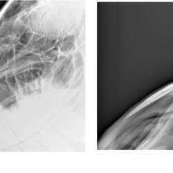 Radiographs showing the nasal bones of a horse in which radiologists agreed there was bone thinning that was typical of affected horses (a) and moderate (b). Imaging: Pérez-Manrique et al.  https://doi.org/10.3390/ani10091661