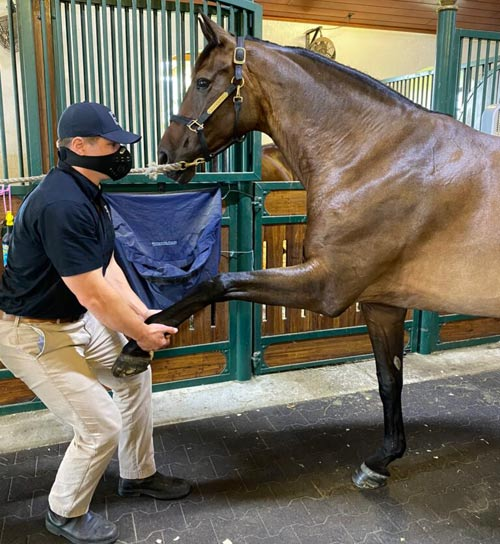 Dr. Ryan Lukens performing a veterinary chiropractic adjustment to a horse's shoulder. It's one of the common problem areas for sport horses.