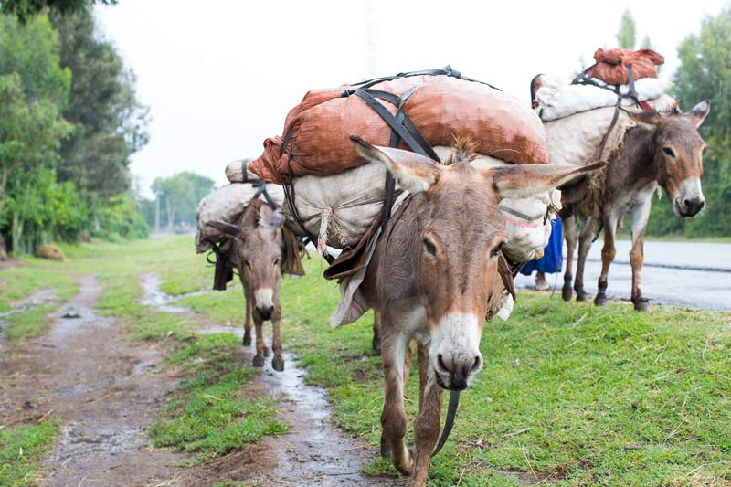 Working donkeys in Ethiopia. November 19 is International Working Animal Day, and animal charity Spana is working to raise awareness about the essential role played by working animals around the world.