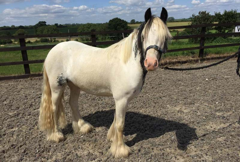 Gus is a three-year-old piebald cob. He is 12.2hh and came to Blue Cross in August 2019.