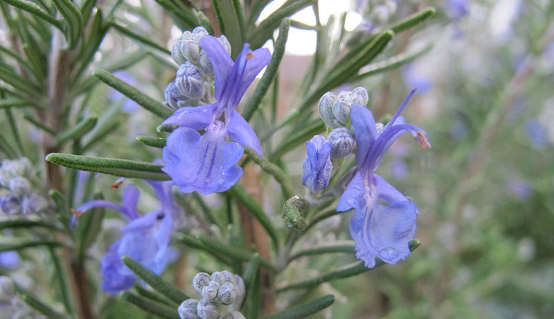 Rosemary is a source of betulinic acid.