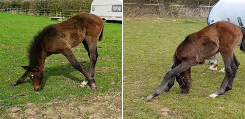 Abnormal grazing postures of foals.