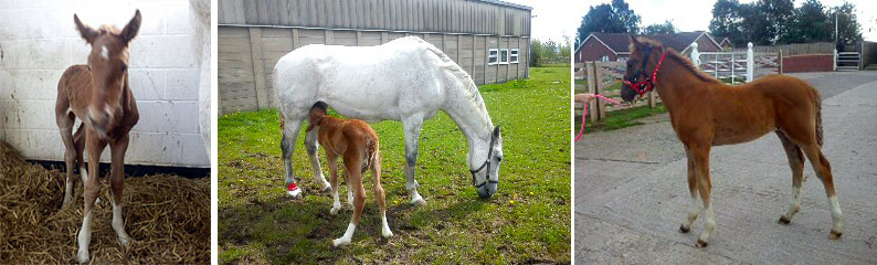 A foal showing MLD - mild limb deviation (carpus valgus). He stayed in the day he was born, then went to paddock turnout for two to three hours the following day. Turnout time increased in the first week, leading to being out 24/7, and his limbs straightened naturally.