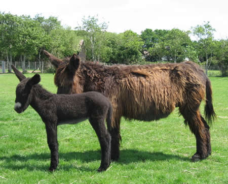 A poitou donkey mare and foal at Woodford Farm in Hampshire.