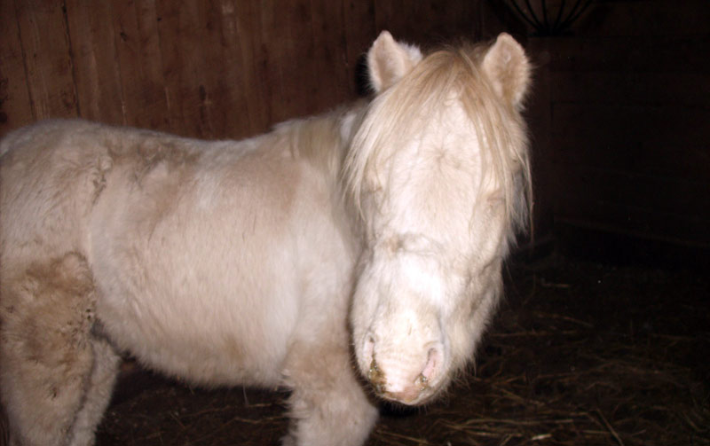 A two-year-old Shetland pony (not involved in the study) with strangles.