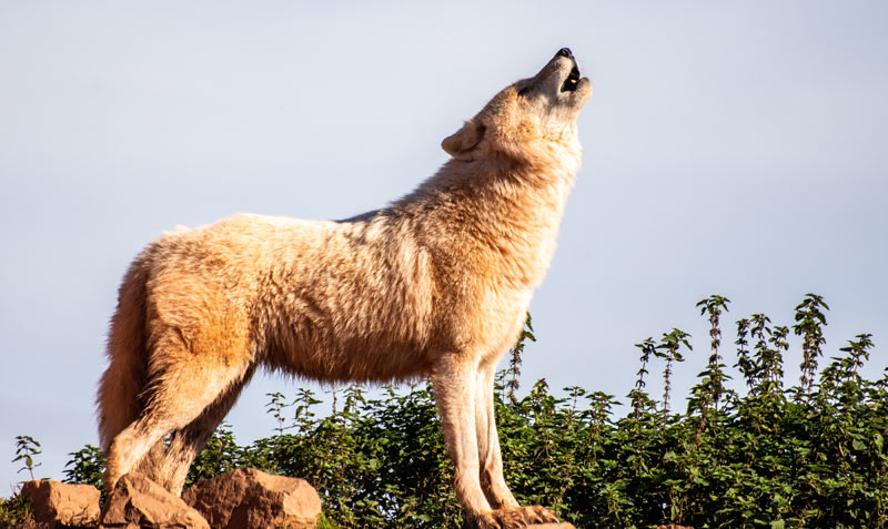 To what extent should a prey species, such as the wolf, be preserved when it poses a direct threat to livestock?