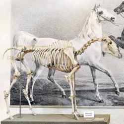 Skeleton of the Arabian stallion Bairactar Or. Ar. (1813–1838) in the Stud Museum Offenhausen in Germany. A tooth from this skeleton was used for DNA analysis. Photo: Stephan Kube