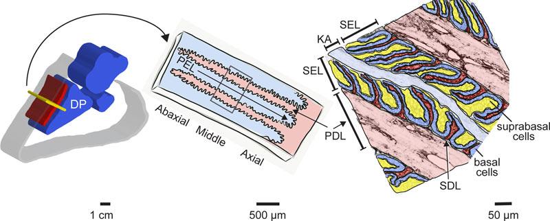 Schematic overview of equine hoof lamellar tissue anatomy.