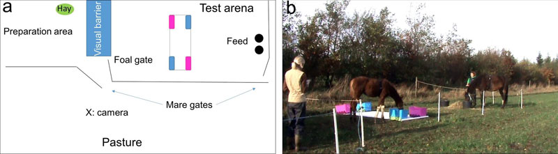 Left, the novel object test layout conducted with the five month old foals. At right is a foal showing exploratory behaviour (touching and manipulating the objects).