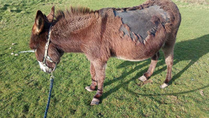 Lily was not a happy donkey when she was found by Donkey Welfare Adviser Jenna Goldby.