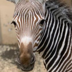 Poe is the latest Grevy's zebra foal to be born at Toronto Zoo. © Toronto Zoo