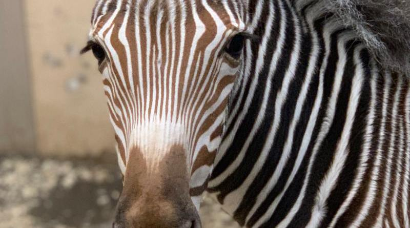 Poe is the latest Grevy's zebra foal to be born at Toronto Zoo.