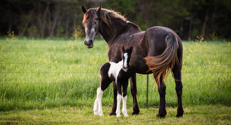 The genetic origins behind reproductive traits are still far from clear, and this is especially so for horses, researchers say.