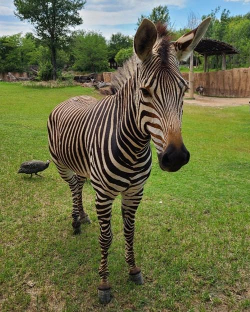 Hartmann's mountain zebra mare Keeya was euthanised after fracturing her spine in an accident on March 22.