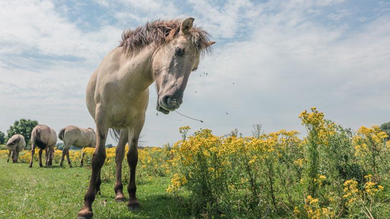 Konik geldings showed more curiosity, the researchers found.