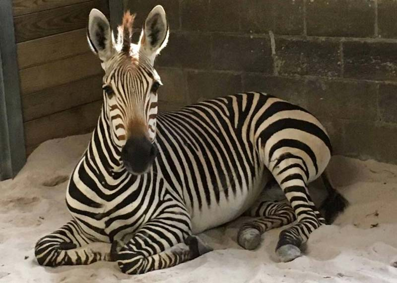 Zoo Knoxville's Wiley, aged five, died on March 17 after sustaining an injury.