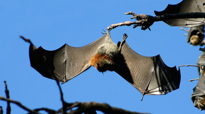A grey-headed flying fox.