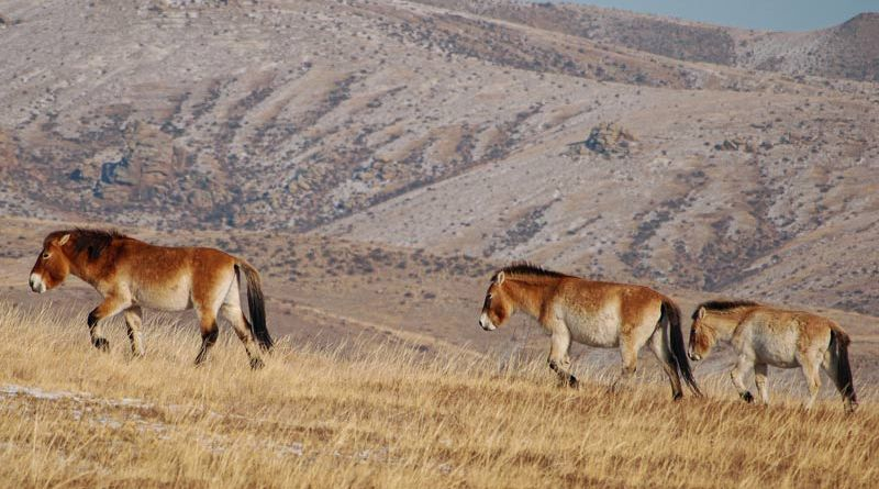 A family of Przewalski's horses in Mongolia.