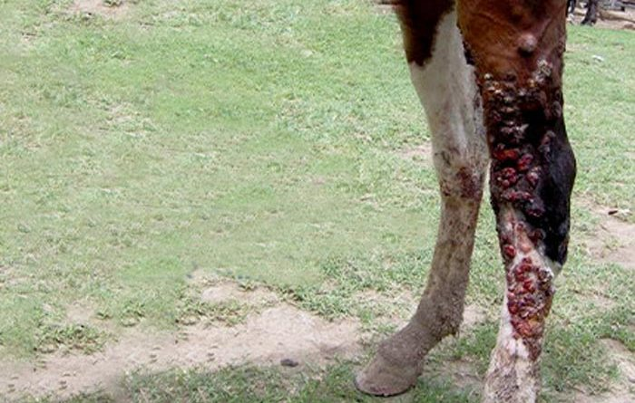 A horse suffering from epizootic lymphangitis.