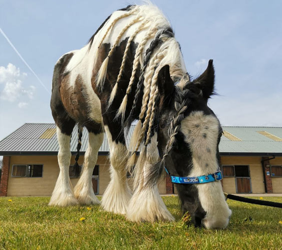 Heather is seeking a home as a non-ridden companion horse. © Blue Cross