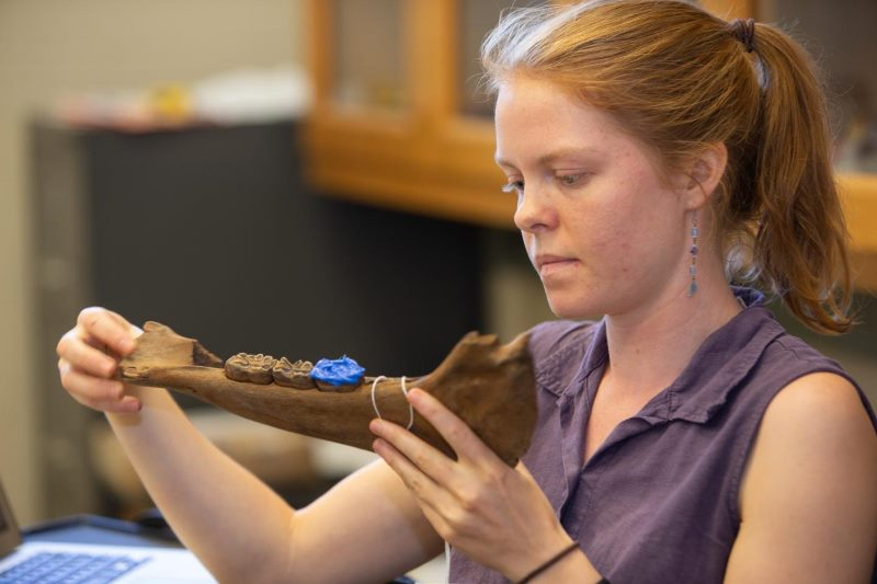 University of Cincinnati doctoral student Abigail Kelly studies a prehistoric jawbone for her study of extinct bison and horses in the Arctic.