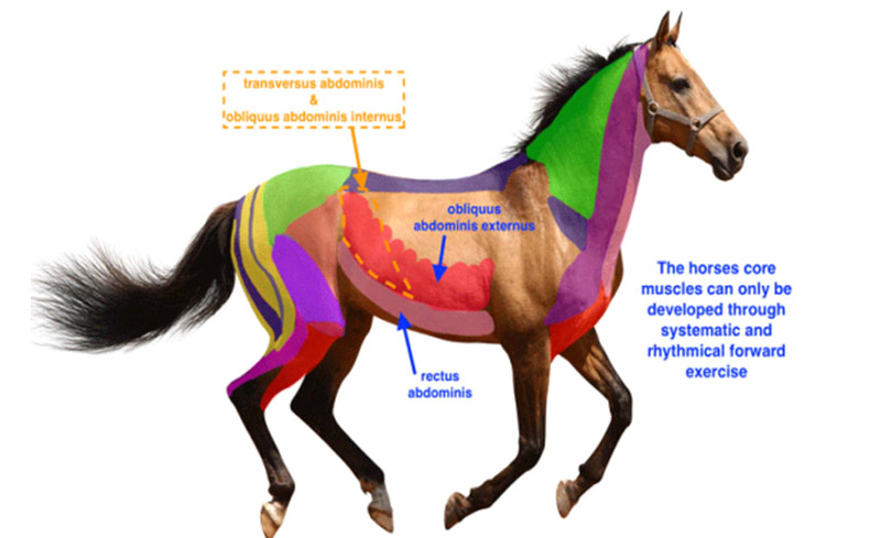 Core muscles: A horse able to use its back properly can lift through its withers and this builds a strong foundation through the thoracic sling muscles.