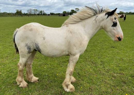 Mr Darcy cuts a dashing figure. © World Horse Welfare