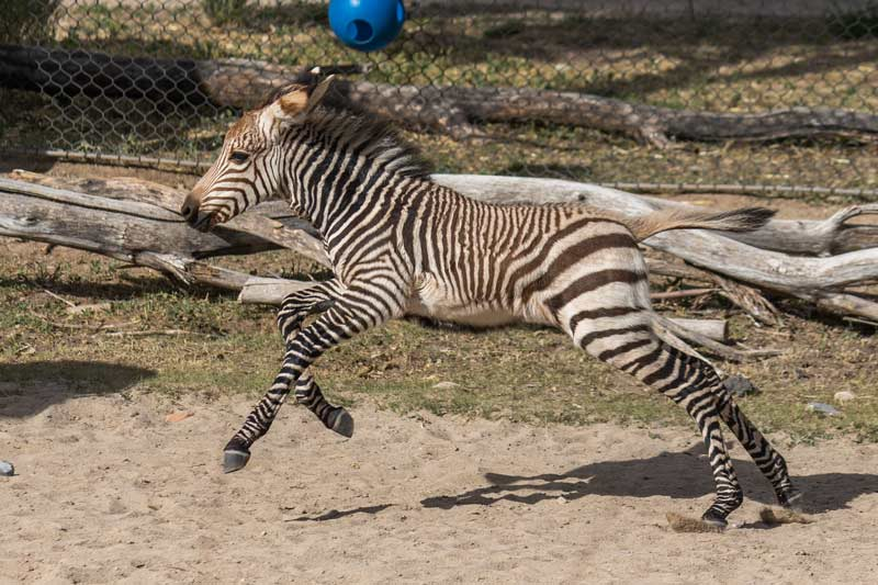 Newly arrived Hartmann's mountain zebra colt Archie enjoys zooming around his enclosure.
