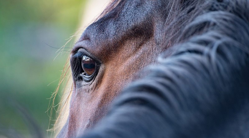 Complex interplay of dysregulated immune-related mechanisms are involved in the development of equine recurrent uveitis, according to scientists.