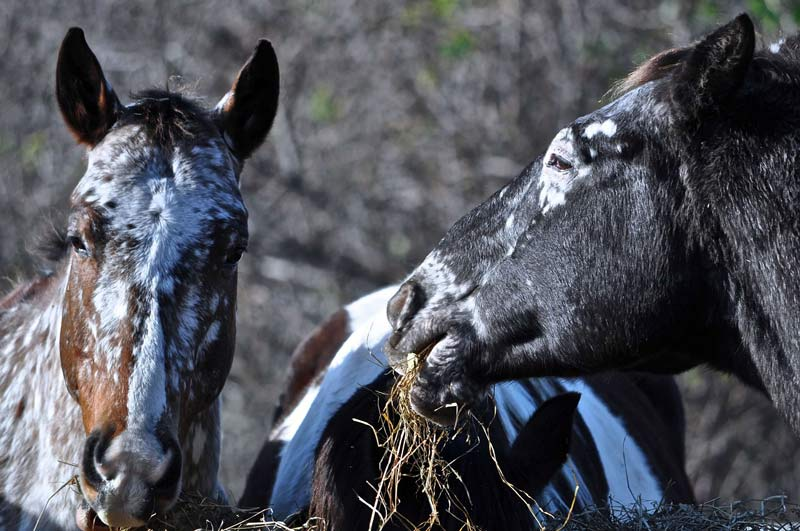 Horses with a coat pattern that indicate they're homozygous for LP (the 'appaloosa' gene), for example, are prone to night blindness,