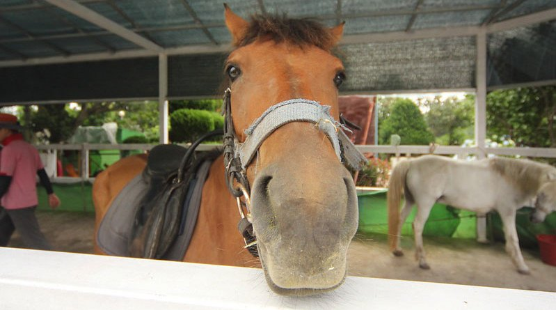 A riding school horse in South Korea.