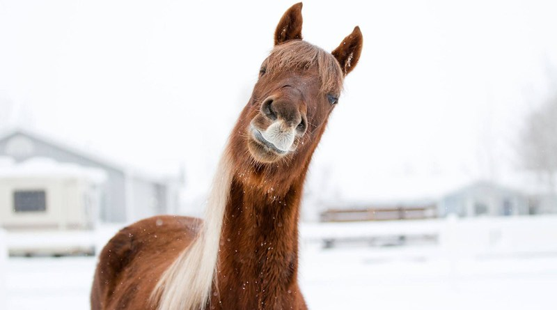 Chronic pain, especially when evolving gradually, can be difficult to assess in horses, yet it may greatly affect welfare.