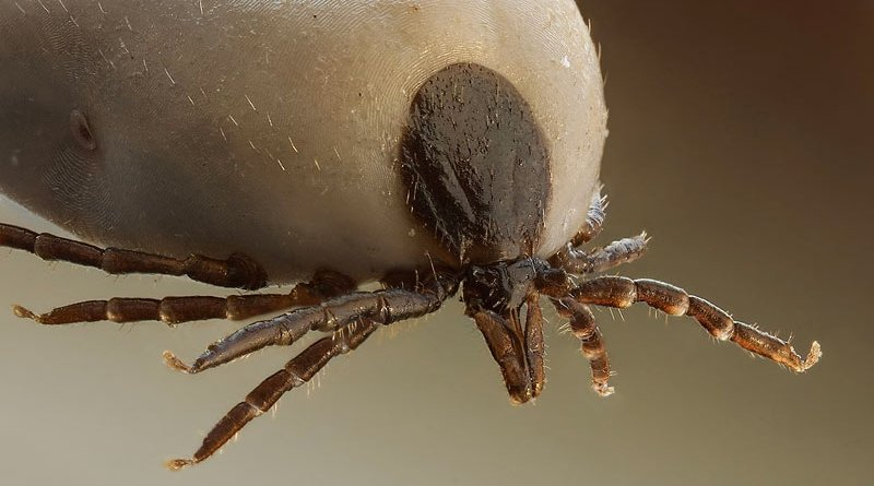 Tick-borne encephalitis is capable of causing neurological signs in humans and animals. Pictured is Ixodes ricinus.